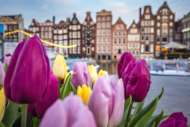 Amsterdam Netherlands Tulips picture with the city in the back