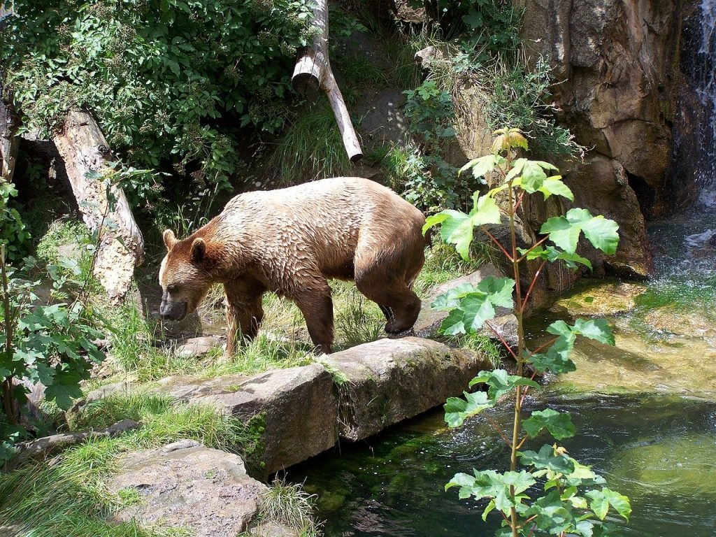 Bear in Alpine Zoo In Innsbruck