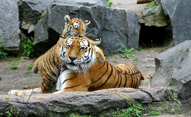 10 Best Zoos In Europe: Tigris in Berlin Zoological Garden