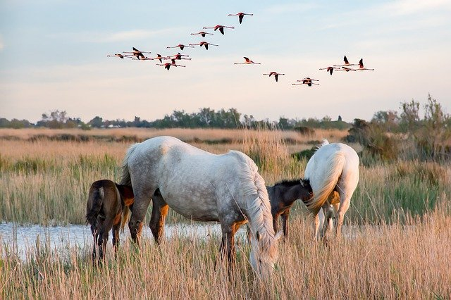 Wildlife Horse Destination In The Camargue, Frankrig