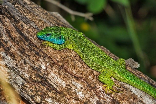 i-European Green Lizard