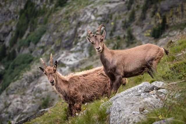 Mountain Alpine Ibex