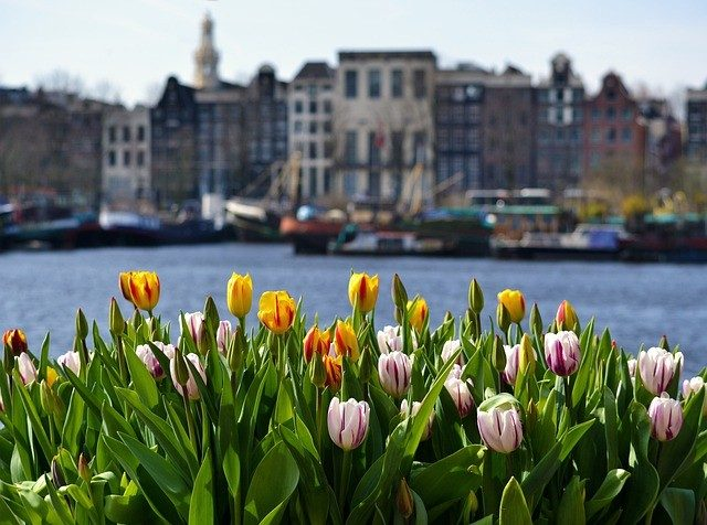 Tulips By the canal in Amsterdam-Noord